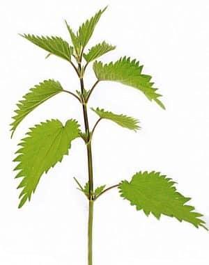 L'ortica, un'erbaccia medicinale tradizionale