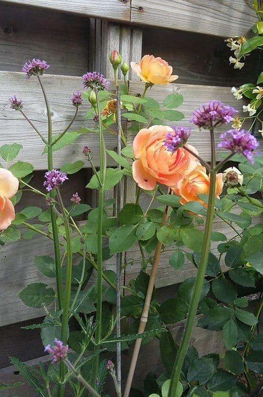 Lady of Shalott, Rose Austin, fiori per il giardino,