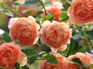 "Rosa inglese, David Austin rose, ""Lady of Shalott"" rose"