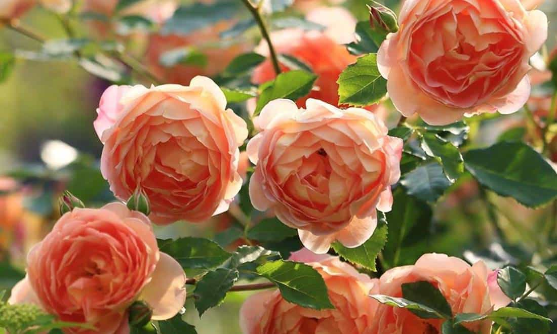 "Rosa inglese, David Austin rose, ""Lady of Shalott"" rose"