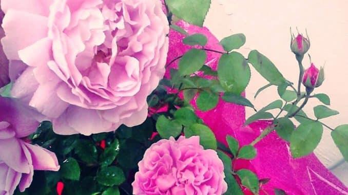 """Le rose inglesi """"Mary Rose"""" Una splendida fragranza e fiori incantevoli"""