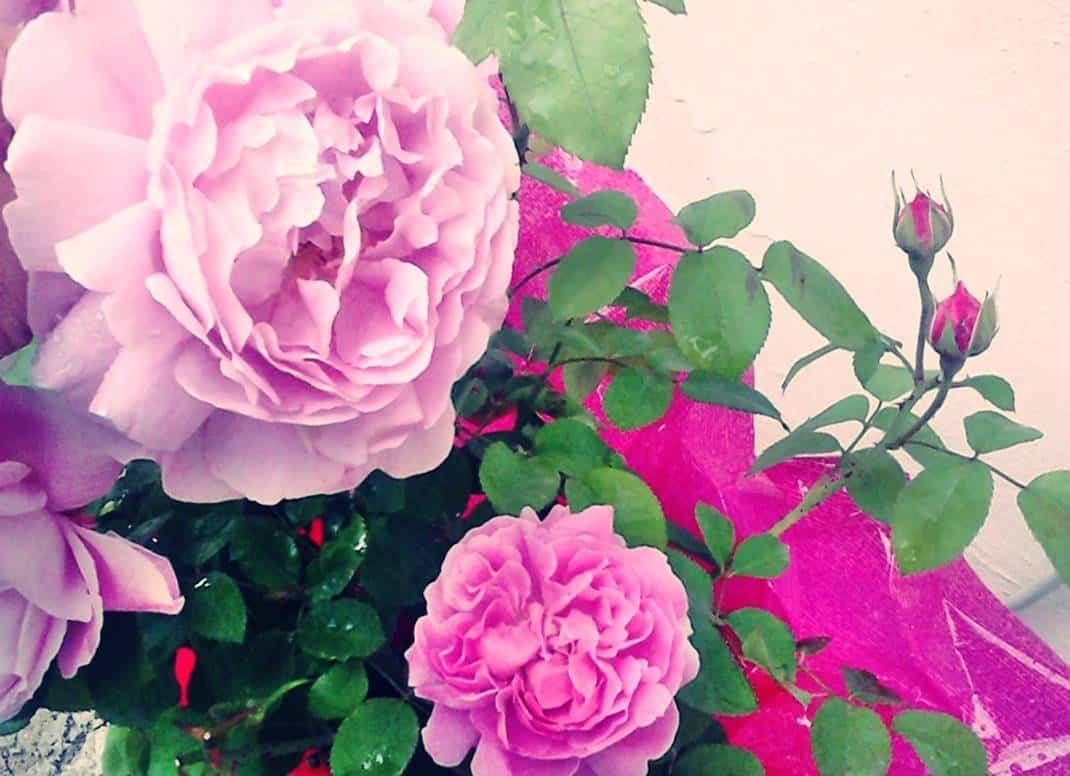 Coltivare Fiori.Rose Profumato Da Coltivare In Vaso Rosa In Rosa Austin Fiori