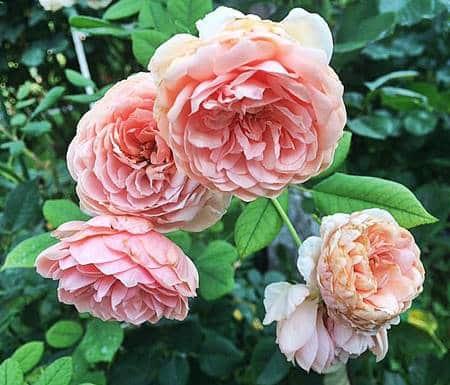 William Morris rose inglesi,