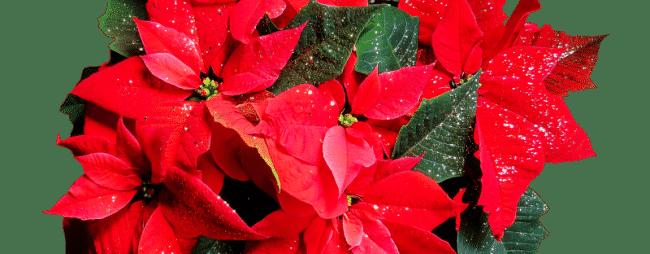 Stella Di Natale Cura E Manutenzione.I 5 Migliori Consigli Per Cura Della Tua Stella Di Natale