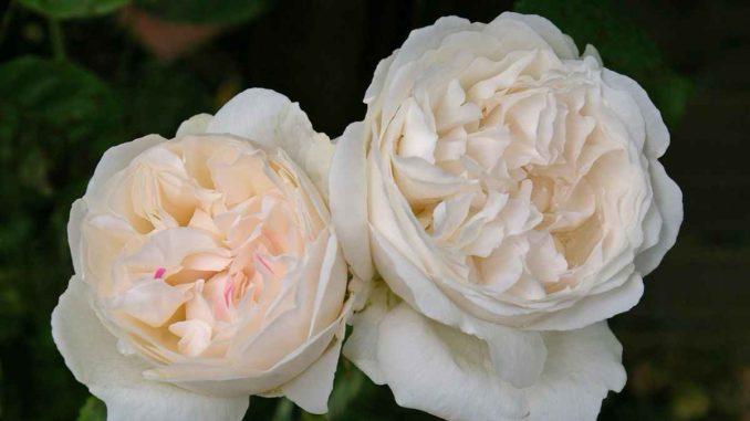 Cura delle rose, Idee per il giardino