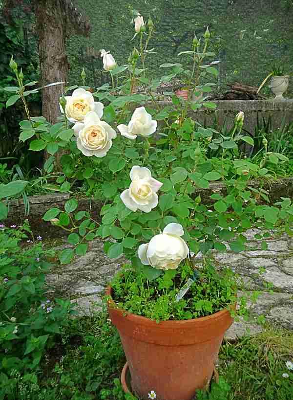 Merita la passione: Le rose inglese, Desdemona di David Austin, rose in Vaso
