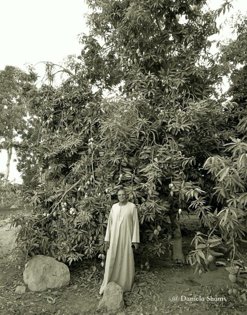Egitto, in campagna, un albero di mango, reportage